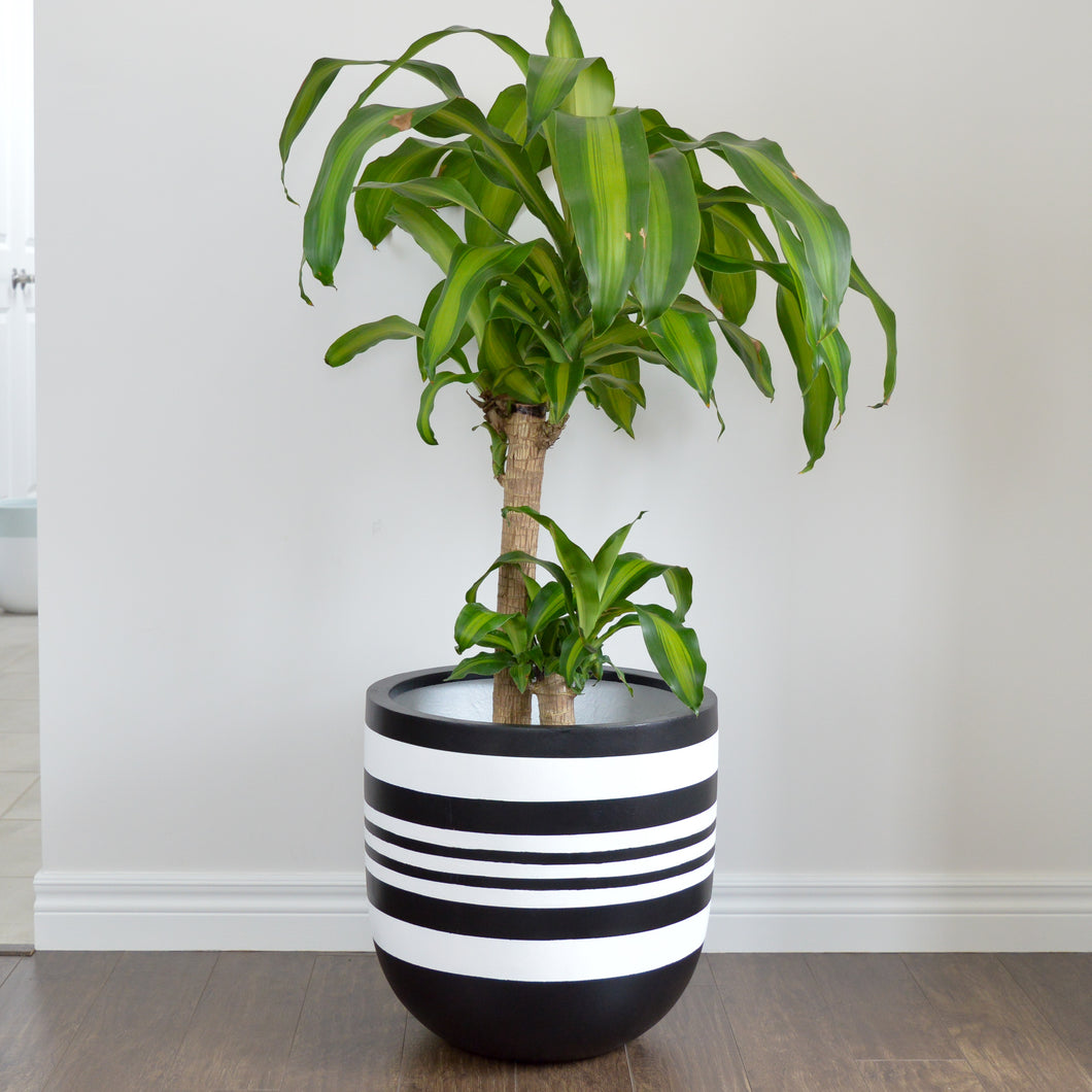Cane tree plant in large black planter with stripes