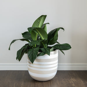 taupe striped plant pot with large peace lily