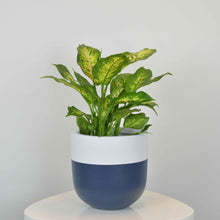 navy and white colourful plant pot with dieffenbachia