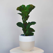 beige and white plant pot with baby fiddle leaf fig tree