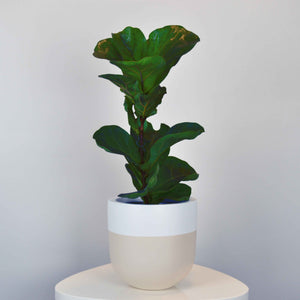 beige and white plant pot with small fiddle leaf fig tree