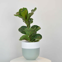 Sage green planter pot with fiddle leaf fig