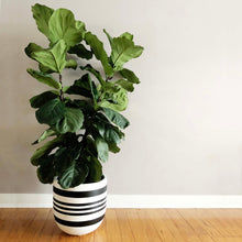 large painted plant pot with fiddle leaf fig
