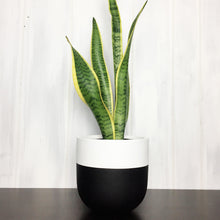 black and white two toned plant pot with snake plant