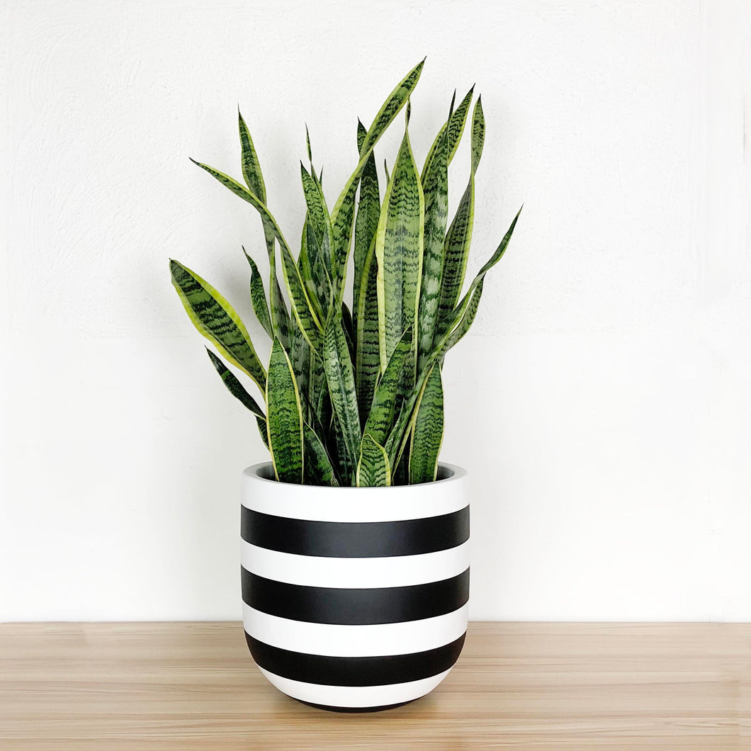 black and white rugby stripe planter pot with sanservia plant