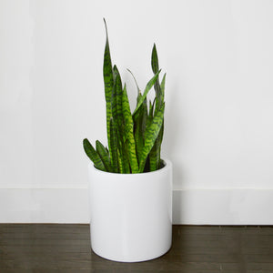 White cylinder plant pot with snake plant