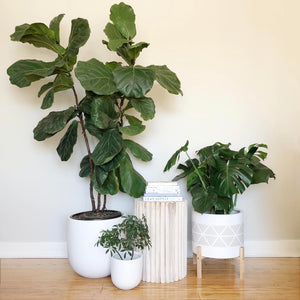 A collection of bright White hand painted planter pots with a large Fiddle Leaf Fig,  a bountiful Monstera Deliciosa plant and a poplar wood side table