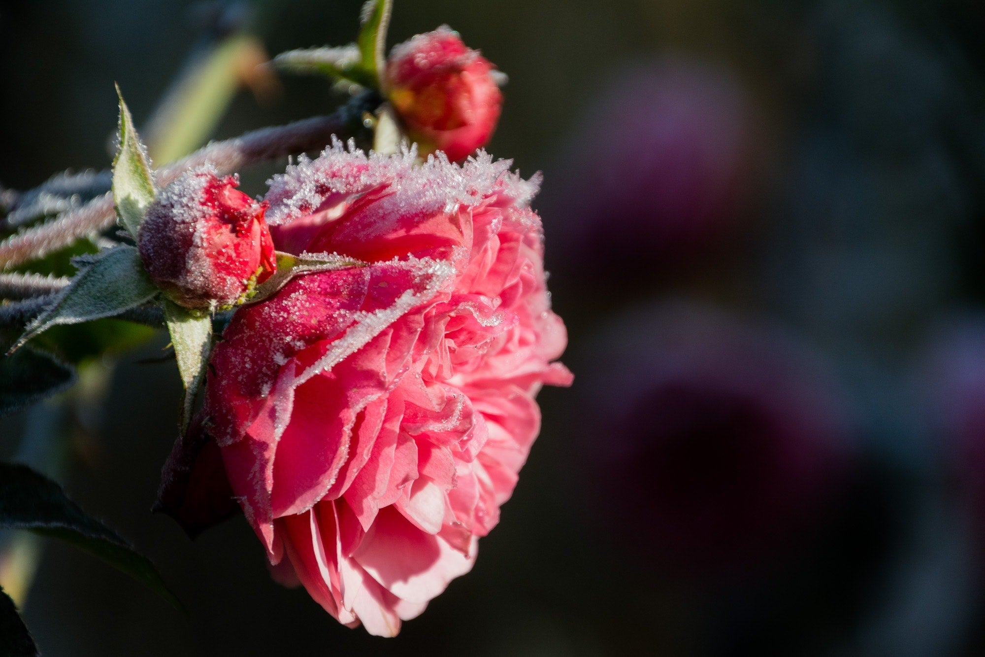 The Frozen Flower