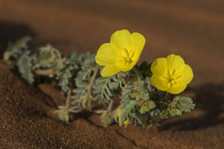 Tribulus Terrestris : A Natural Aphrodisiac That Puts You In The Mood