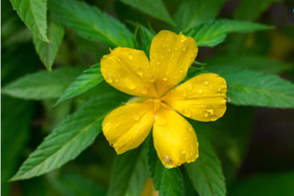 Is Damiana An Effective Natural Aphrodisiac?