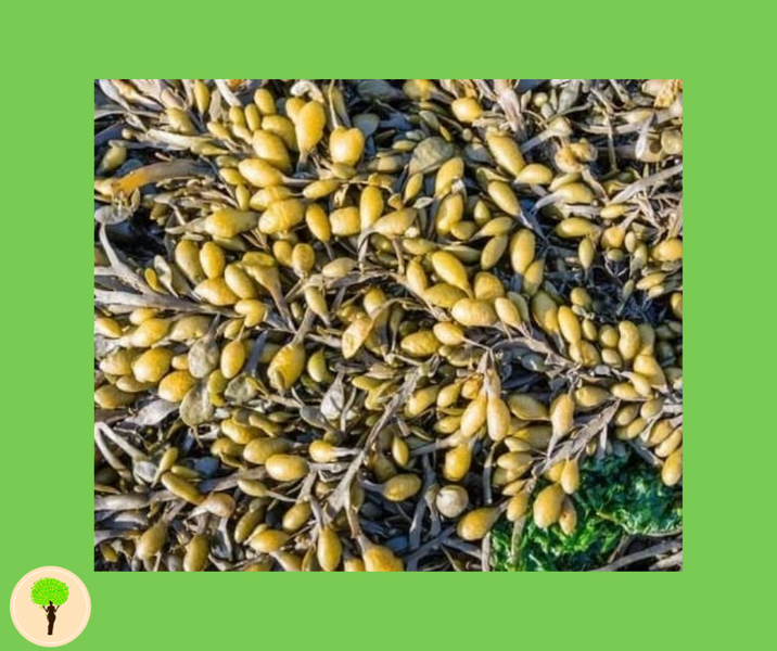The Benefits Of Bladderwrack On Digestive Health