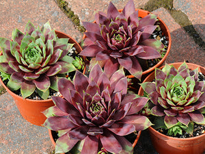 Sempervivum of the month: June 2018