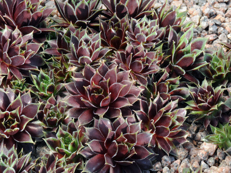 Sempervivum 'Black Knight'