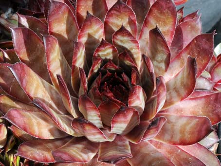 Sempervivum 'Blade of Steel'