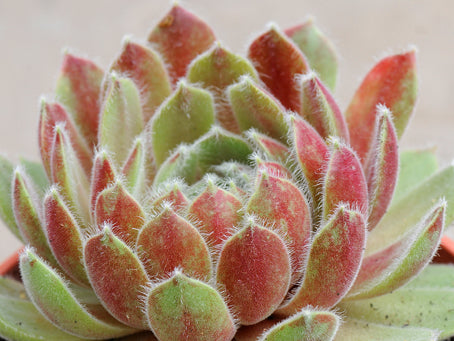 Sempervivum 'Kissing Me Softly'
