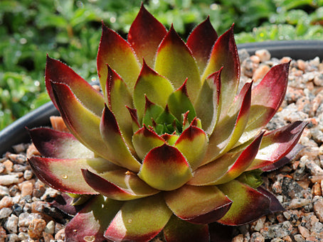 Sempervivum 'Adamina'