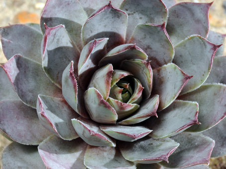 Sempervivum 'Blue Boy'