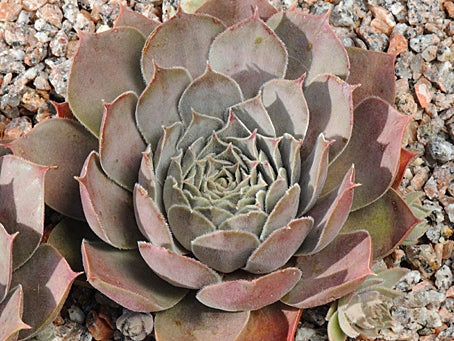 Sempervivum 'Blushes'