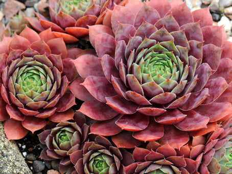 Sempervivum 'Brock'