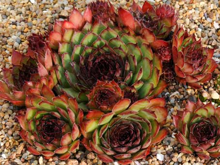 Sempervivum 'Brown Owl'