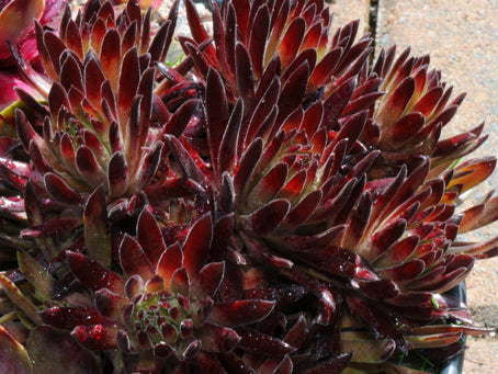 Sempervivum 'Devil's Touch'