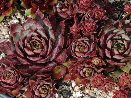 Sempervivum 'Doeskin'