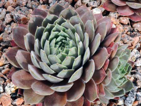Sempervivum 'Engle's'