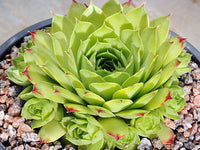 Sempervivum 'Limelight'