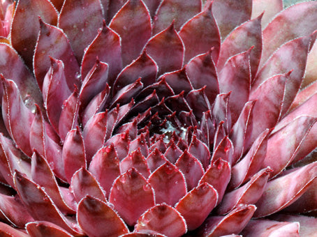Sempervivum 'Polaris'
