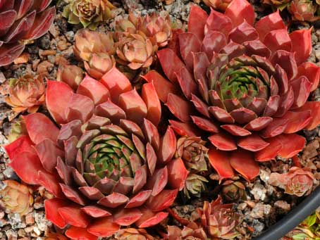 Sempervivum 'Poollicht'