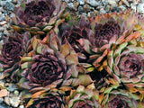 Sempervivum 'Purple Queen'