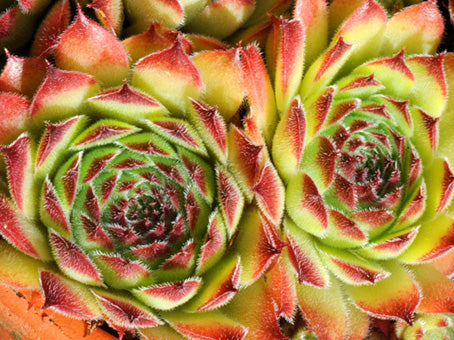 Sempervivum 'Queen Elizabeth'