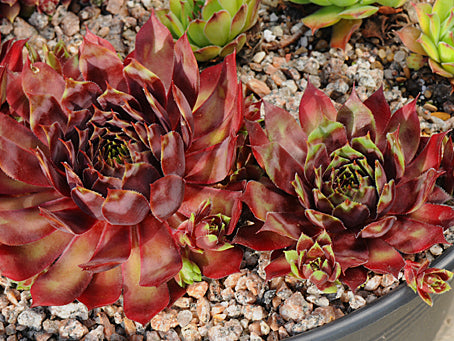 Sempervivum 'Red Devil'