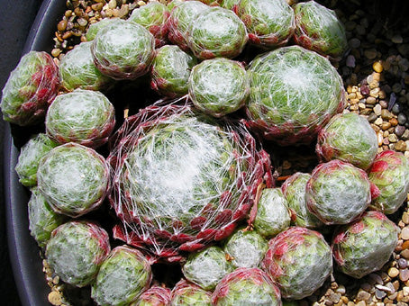 Sempervivum 'Densum'
