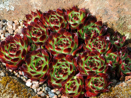Sempervivum calcareum 'Guillaumes'