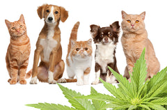 CBD with Separation Anxiety in Dogs