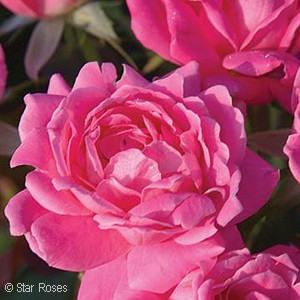 Knock Out® Pink Double Shrub Rose(Rosa)