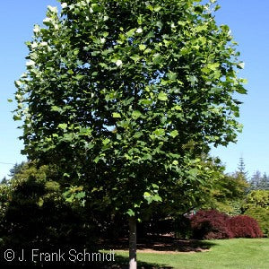 Emerald City Tulip Tree(Liriodendron Tulipifera)