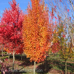 Armstrong Gold® Maple(Acer Freemanii)