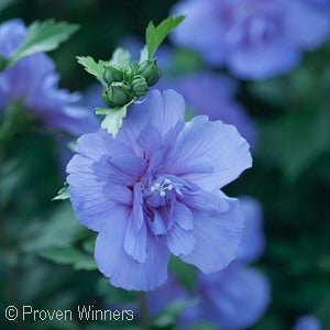 Color Choice&#174 Blue Chiffon&#174 Rose Of Sharon(Hibiscus Syriacus)