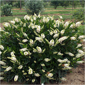 Color Choice&#174 Sugartina&#174 Crystalina Summersweet(Clethra Alnifolia)