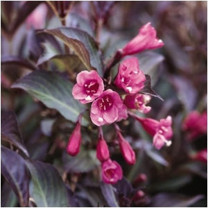 Color Choice&#174 Wine & Roses&#174 Weigela(Weigela Florida)