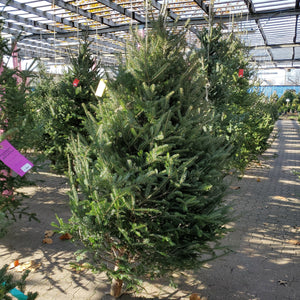 7-8' Fresh Cut Balsam Fir
