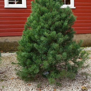Scotch Pine Fresh Cut Christmas Tree