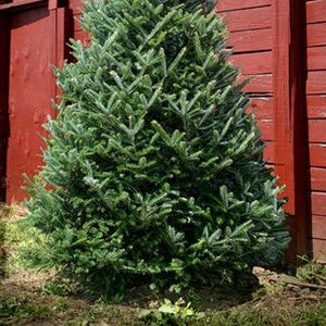 Fraser Fir Fresh Cut Christmas Tree