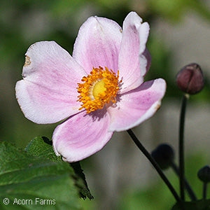 September Charm Windflower(Anemone Hybrida)