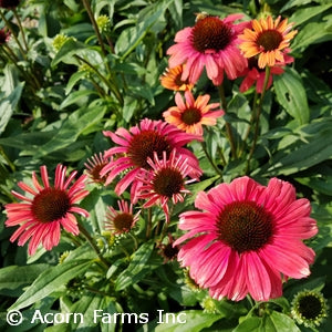 Playful Meadow Mama Coneflower(Echinacea Purpurea)