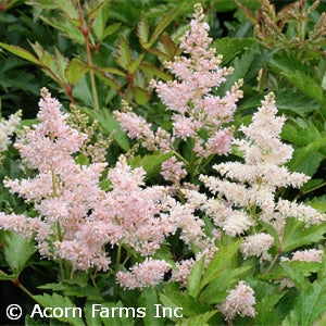 Younique&#8482 Silvery Pink False Spirea(Astilbe )