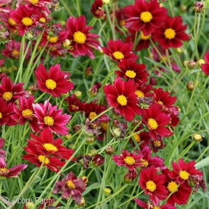 Big Bang&#8482 Mercury Rising Tickseed(Coreopsis )