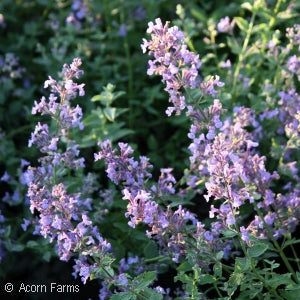 Junior Walker Catmint(Nepeta )